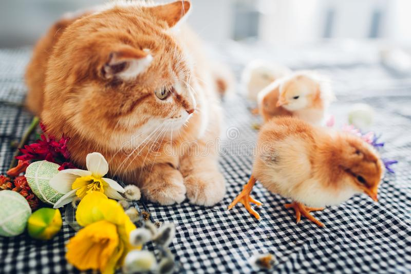 Easter chicken playing with kind cat. Little brave chicks walking by ginger cat among flowers and Easter eggs. stock photo