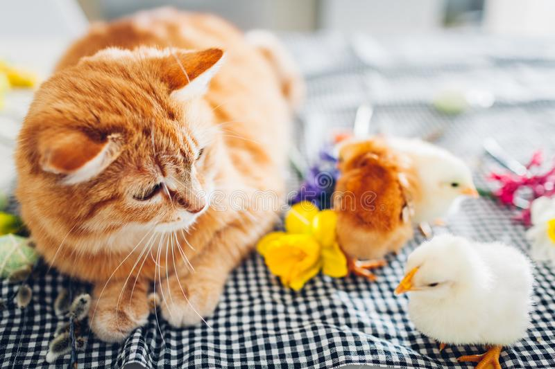 Easter chicken playing with kind cat. Little brave chicks walking by ginger cat among flowers and Easter eggs. stock photography