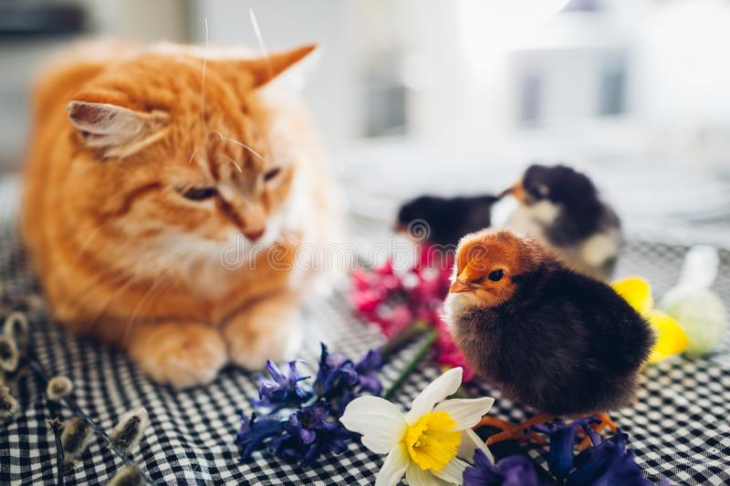 Easter chicken playing with kind cat. Little brave chicks walking by ginger cat among flowers and Easter eggs stock images
