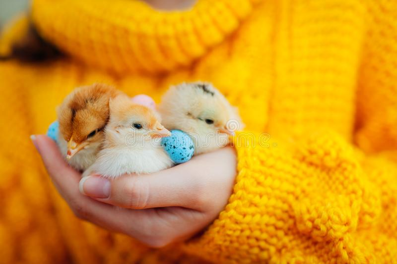 Easter chicken. Woman holding three orange chicks in hand surrounded with Easter eggs. royalty free stock photo