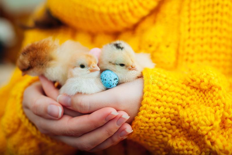 Easter chicken. Woman holding three orange chicks in hand surrounded with Easter eggs. stock photo