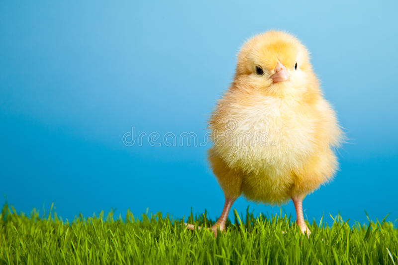 Easter chickens on green grass on blue stock photos