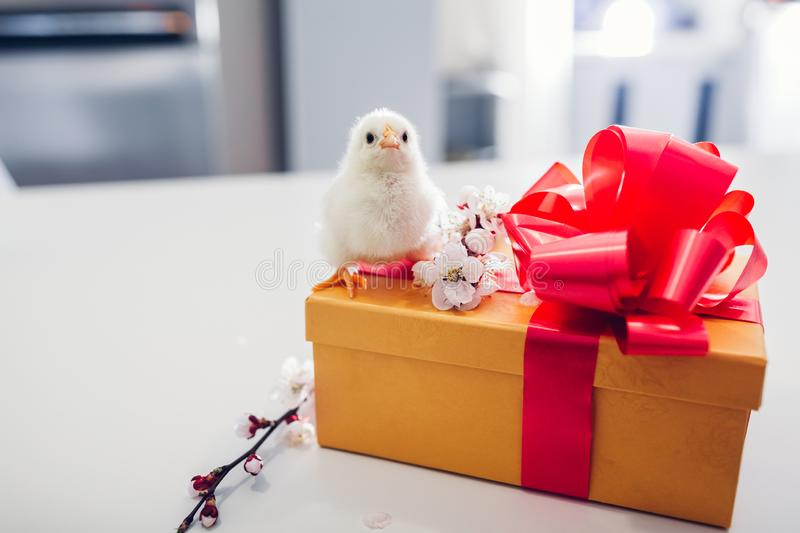 Easter chickens. Little chick standing on Easter gift box. Present for spring holiday stock image