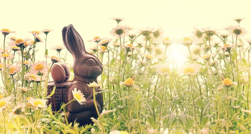 Easter chocolate rabbit in a field of daisies, easter background stock photography