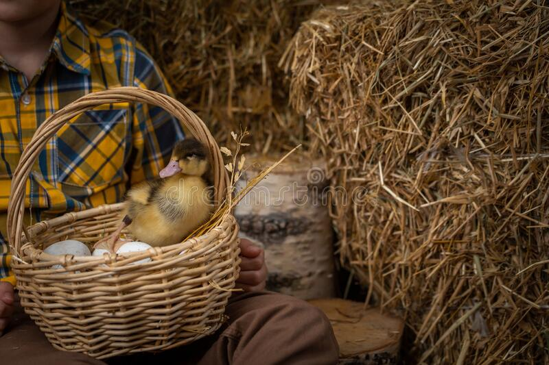 Easter composition. small fluffy duckling breed Mulard sits in basket with eggs. Easter composition. A small fluffy duckling, breed Mulard, sits in a basket with royalty free stock photos