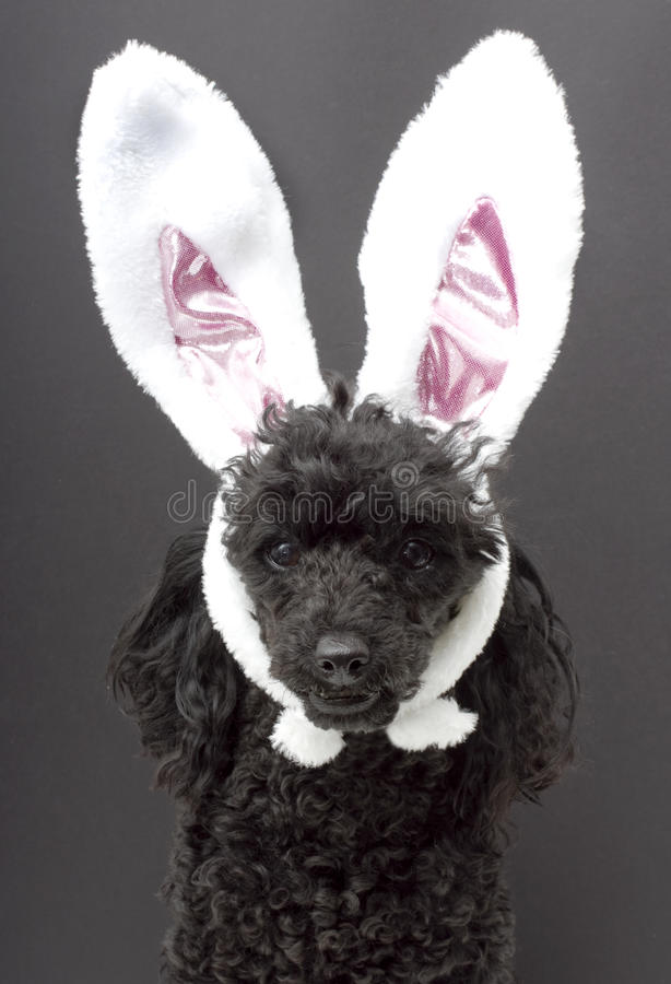 Easter Cutie. A poodle wearing bunny ears for easter, isolated on a gray background stock photography