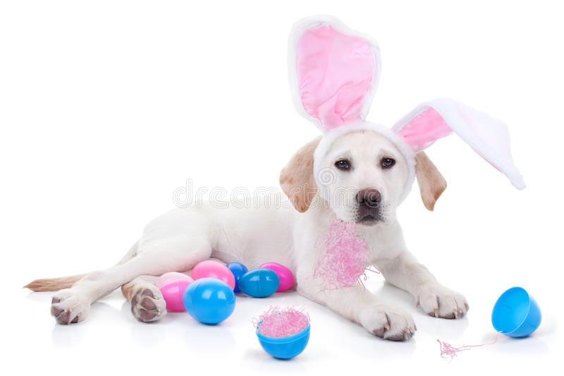 Easter Dog. Easter bunny puppy dog and Easter eggs royalty free stock photo