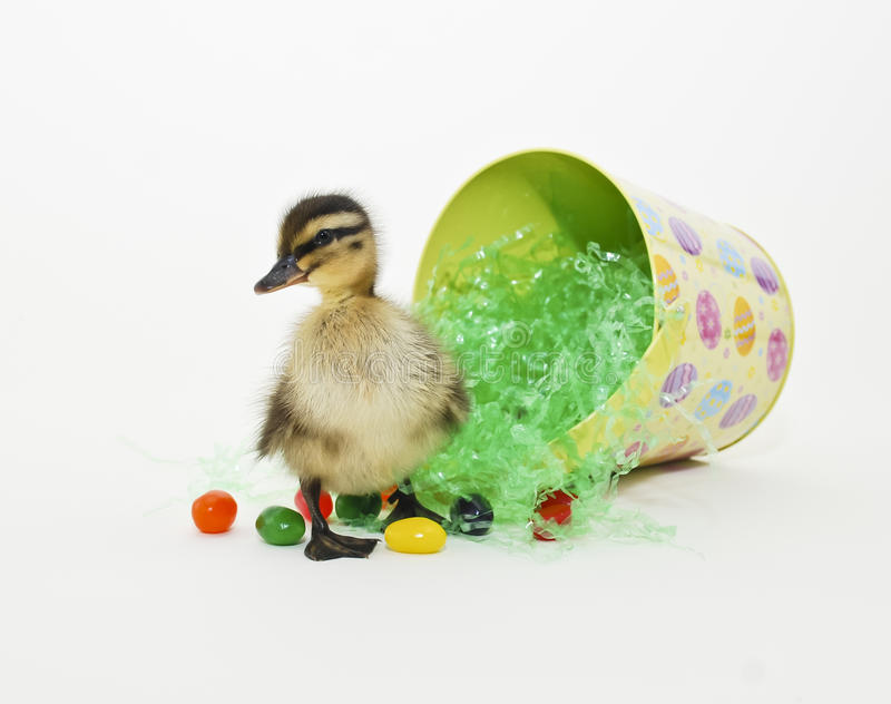 Download Easter Duckling stock image. Image of card, background - 18596313