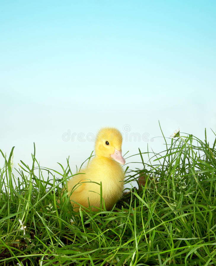 Easter duckling in grass royalty free stock photos