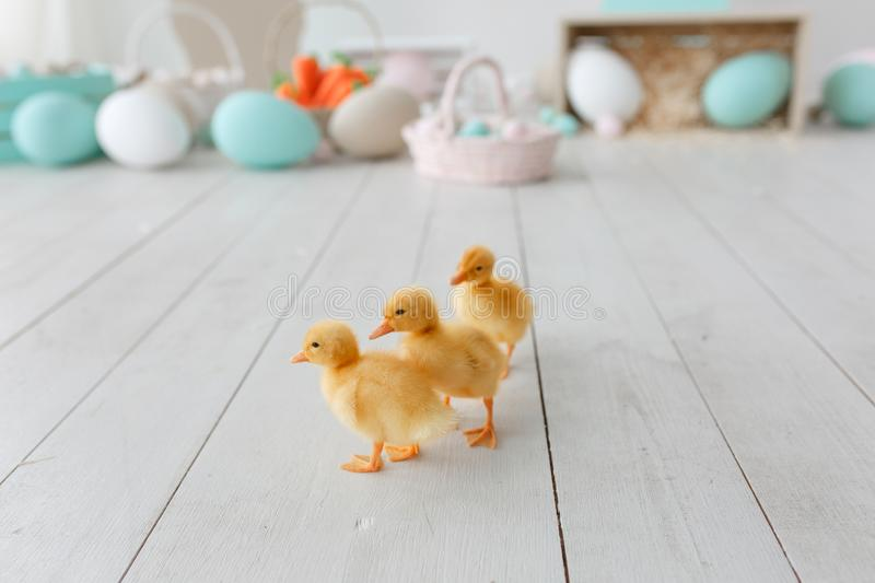 Easter ducklings isolated on white wooden floor. Blurred painted eggs on background royalty free stock images