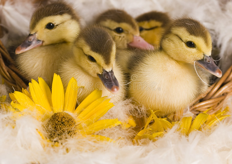 Easter ducks. Easter- the Sunday in March or April when Christians celebrate Christ's return to life stock photography