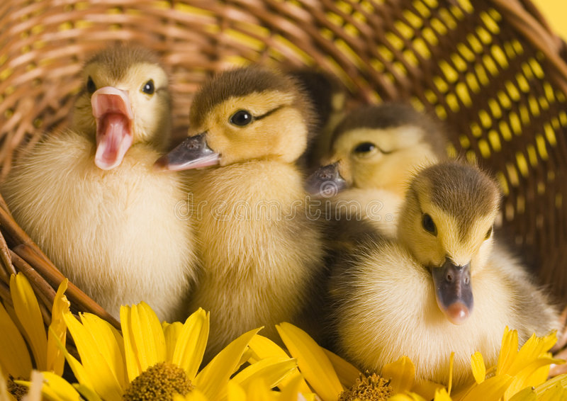 Easter ducks. Easter- the Sunday in March or April when Christians celebrate Christ's return to life stock image