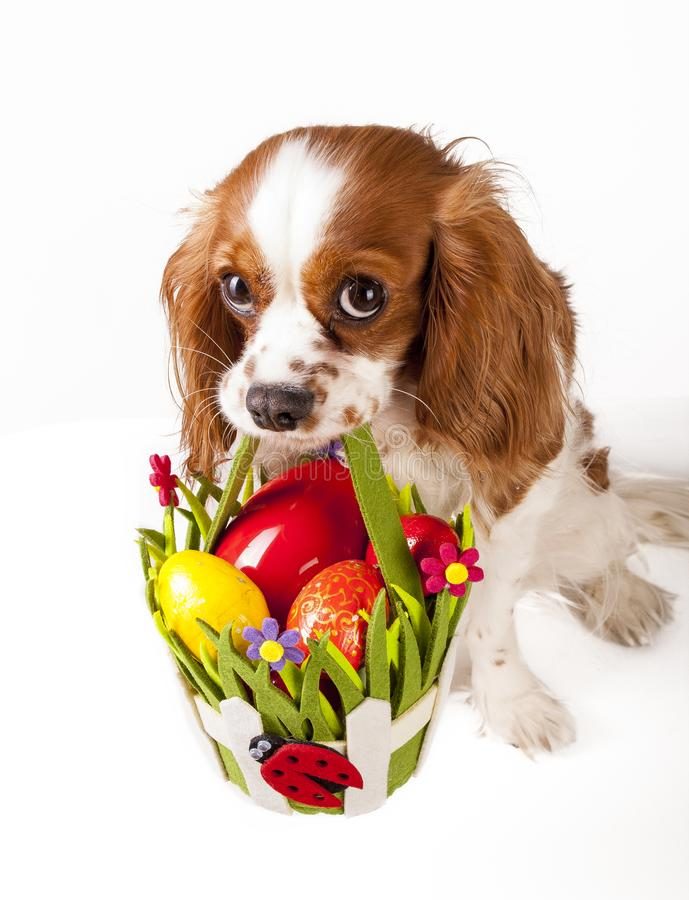 Easter eggs in basket with easter dog. Happy easter. Cavalier king charles spaniel holding easter egg basket on isolated stock photos