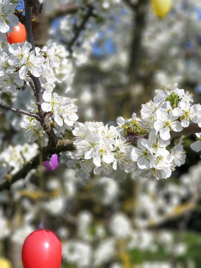 Easter eggs on the blossoming tree royalty free stock image