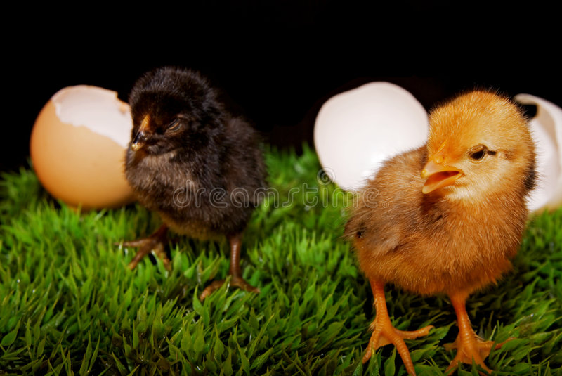 Easter eggs and chicken. Some cute newborn chickens with their eggs royalty free stock images