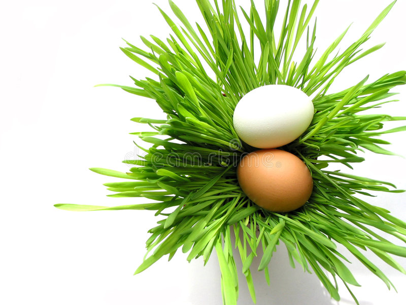 Easter eggs in grass on white stock image