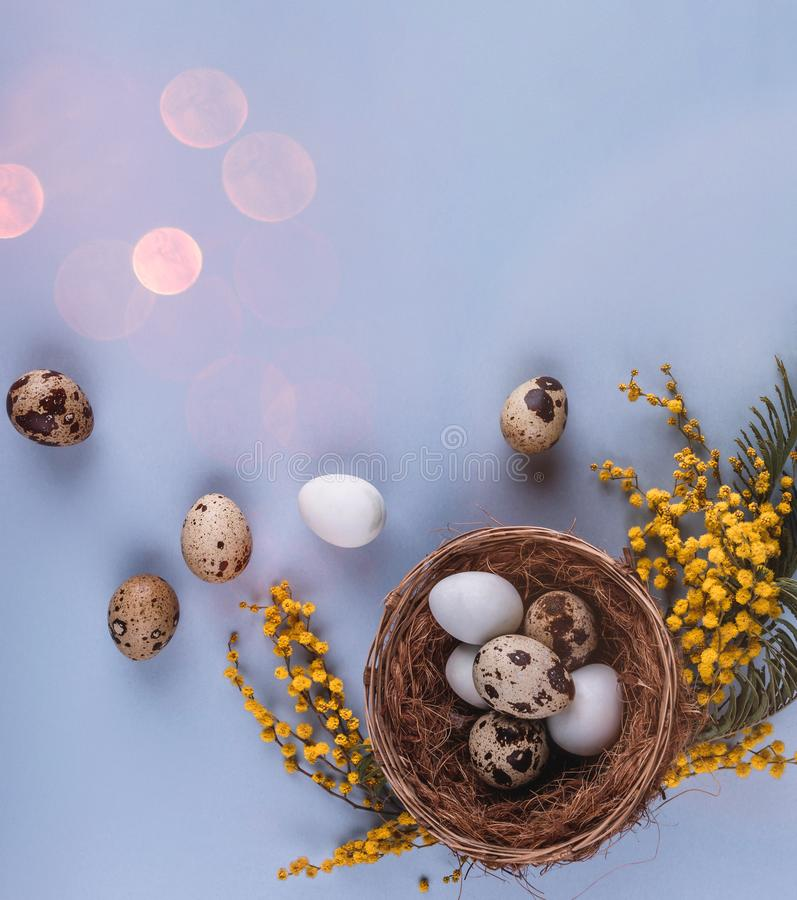 Easter eggs in nest and spring flowers on blue holiday background. Greeting card for Happy Easter. Flat lay, top view.  royalty free stock photography