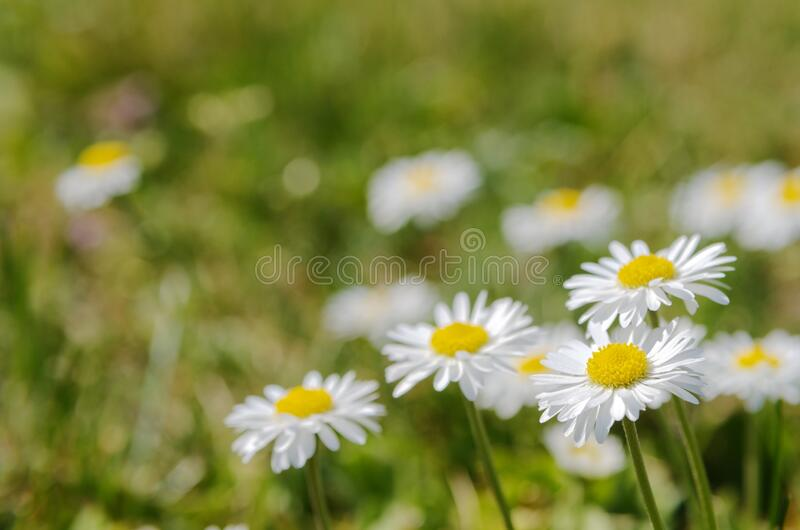 Pretty little daisies stock photography