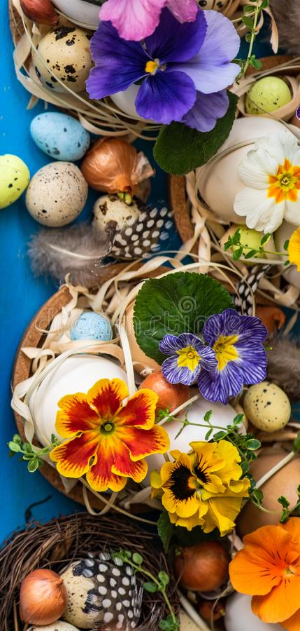 Easter holiday card concept. Easter holiday natural composition with first spring flowers like tricolor violas and primerose , colored eggs royalty free stock images