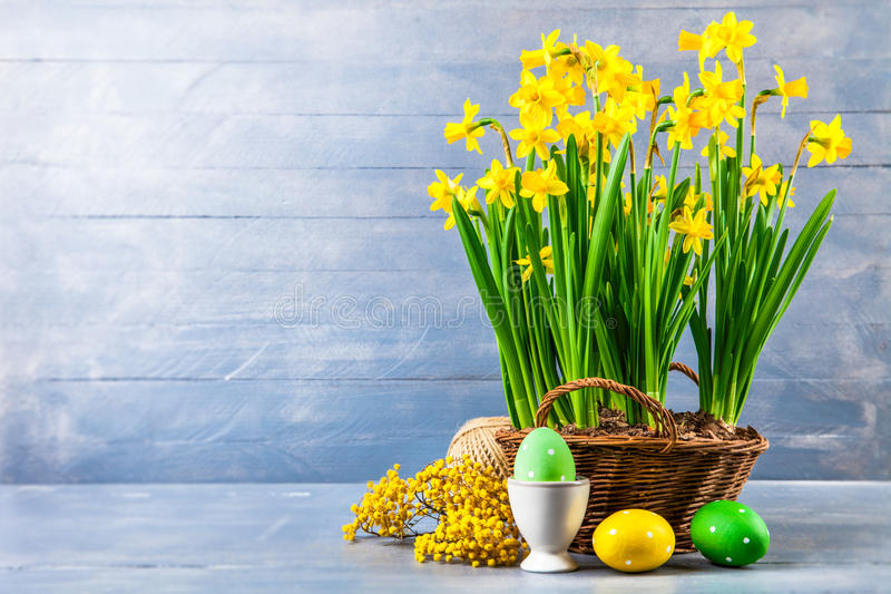 Easter holiday card with eggs yellow spring flower. Narcissus in wicker basket copyspace on blue wooden board and branch mimosa stock photography