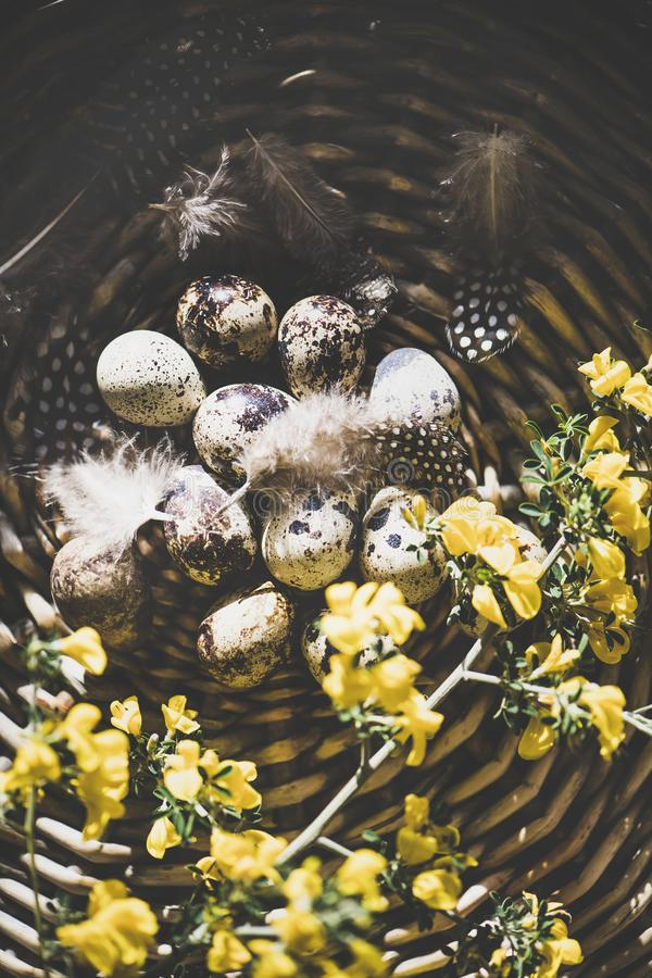 Easter holiday greeting card with quail eggs, top view. Easter holiday greeting card. Flat-lay of natural colored quail eggs with feathers and yellow flowers in stock photo