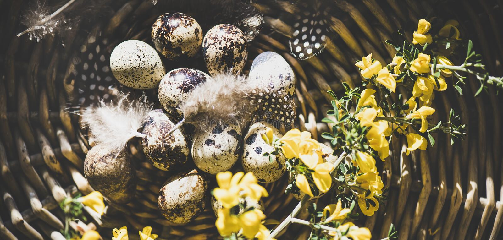 Easter holiday greeting card with quail eggs, wide composition. Easter holiday greeting card. Flat-lay of natural colored quail eggs with feathers and yellow stock photos