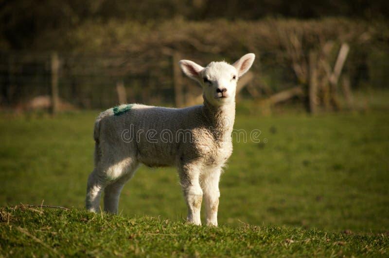 Easter Lamb stock photos