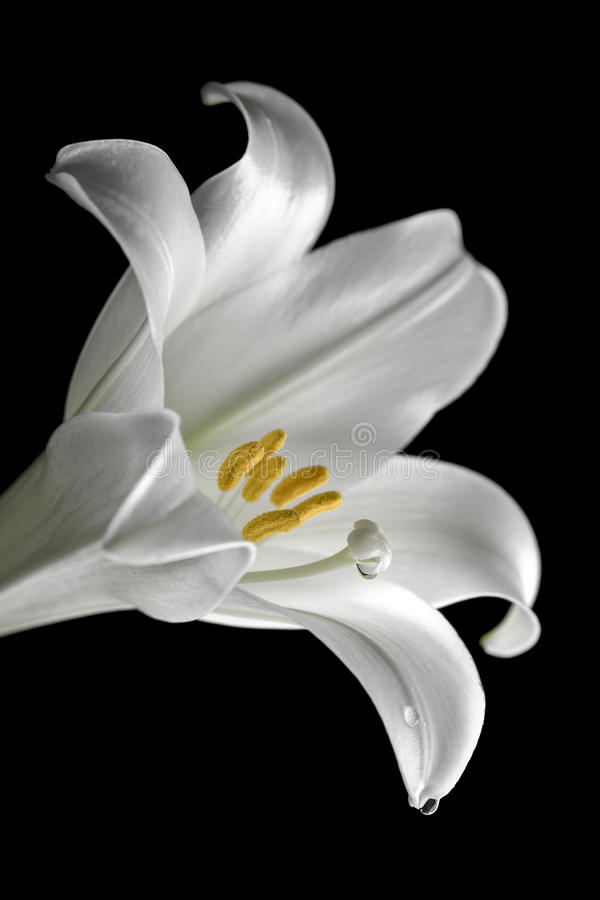 Easter lilly royalty free stock image