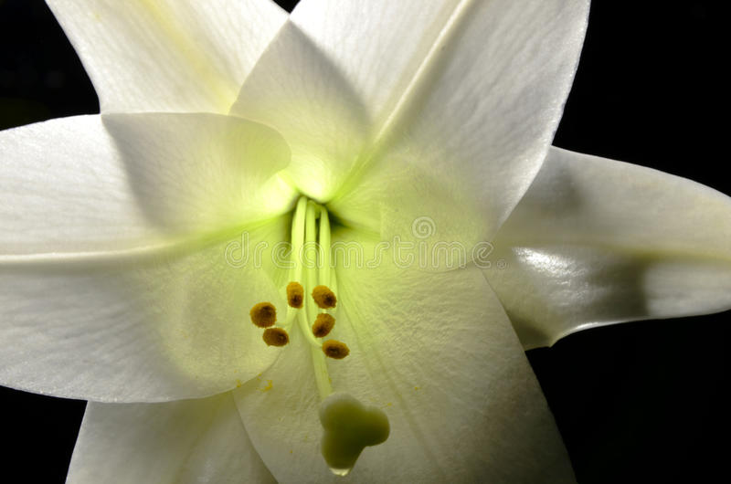 Easter Lilly royalty free stock photo