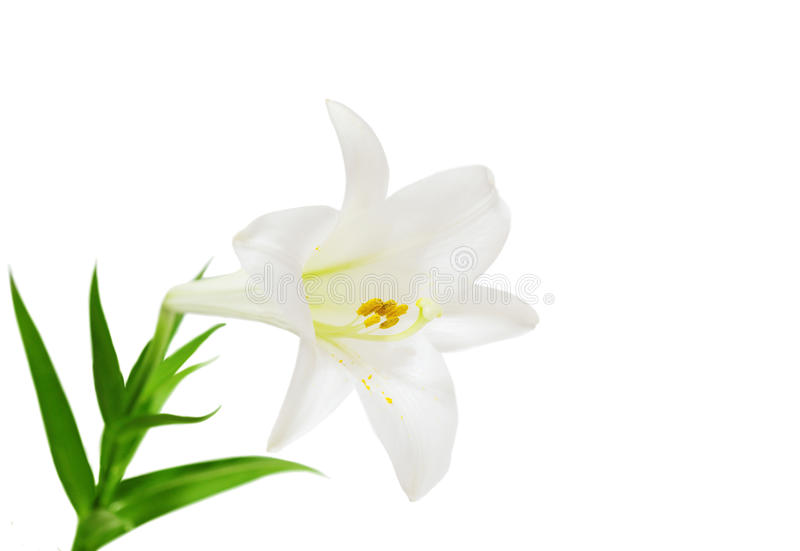 Download Easter Lily stock photo. Image of stamen, blooming, background - 10559456