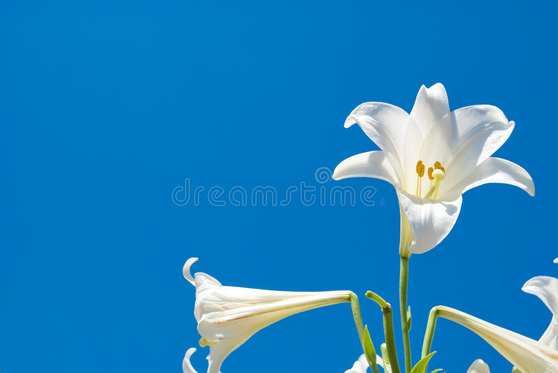 Download Easter lily stock photo. Image of natural, flowerbed - 15108748