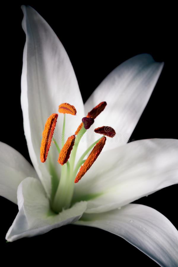 Download Easter lily stock photo. Image of flower, green, head - 17846542