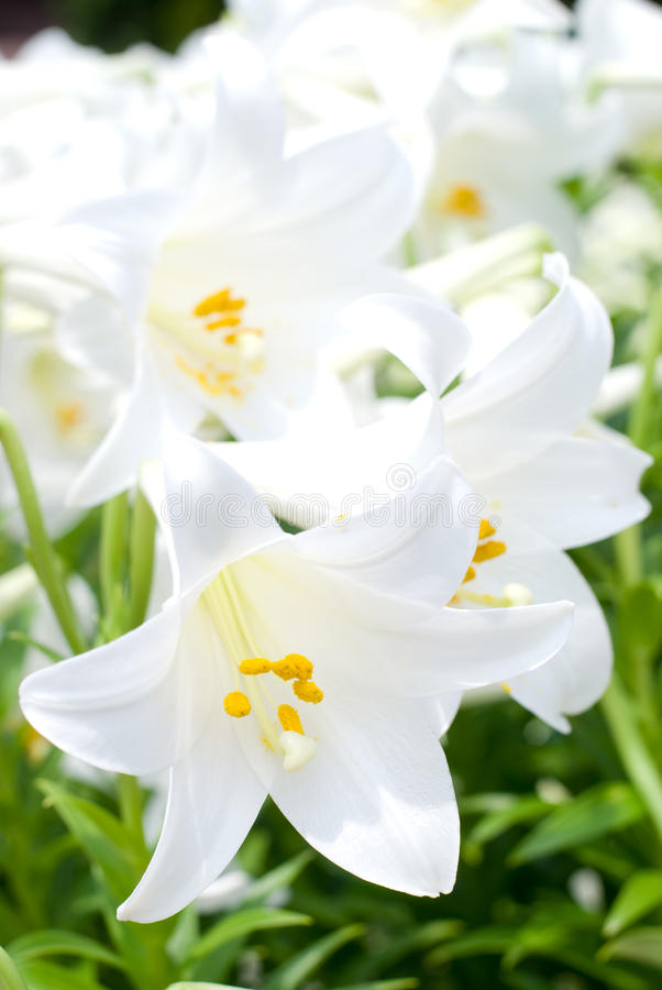 Download Easter lily stock photo. Image of petal, beautiful, blossom - 23550854
