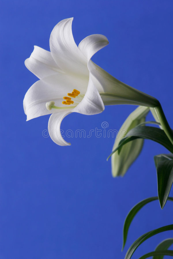 Easter Lily. Flower close Uup with blue background royalty free stock photos