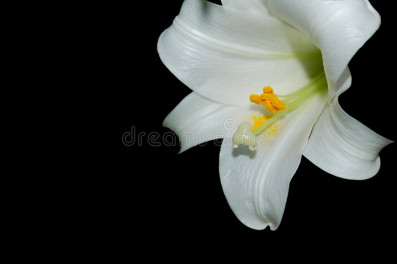 Download Easter Lily Dripping Nectar Stock Image - Image: 849385