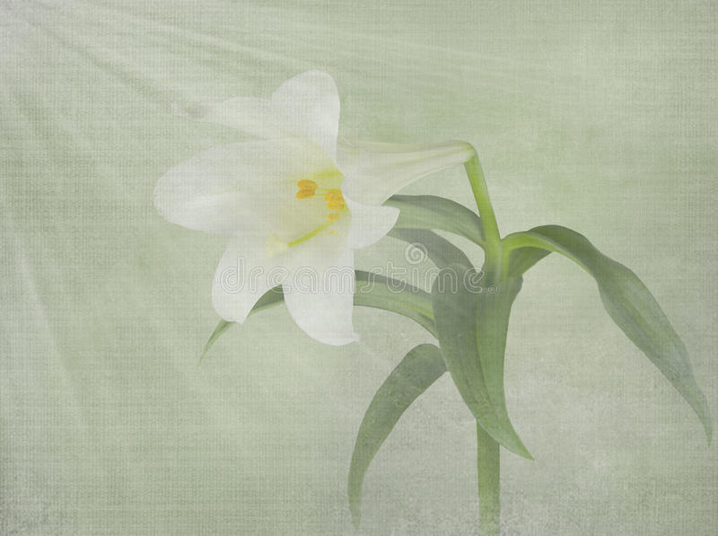 Easter lily with light rays royalty free illustration