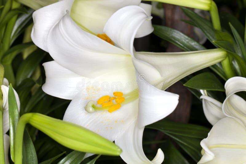 Easter lily (Lilium longiflorum) stock image