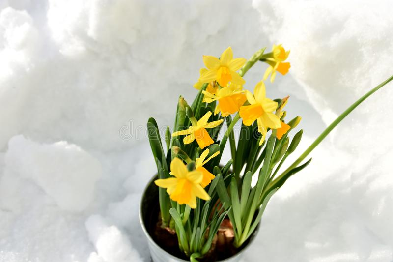 Easter lily standing in the snow stock images