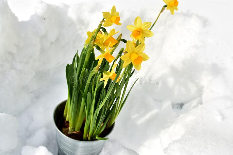 Easter lily standing in the snow stock photo