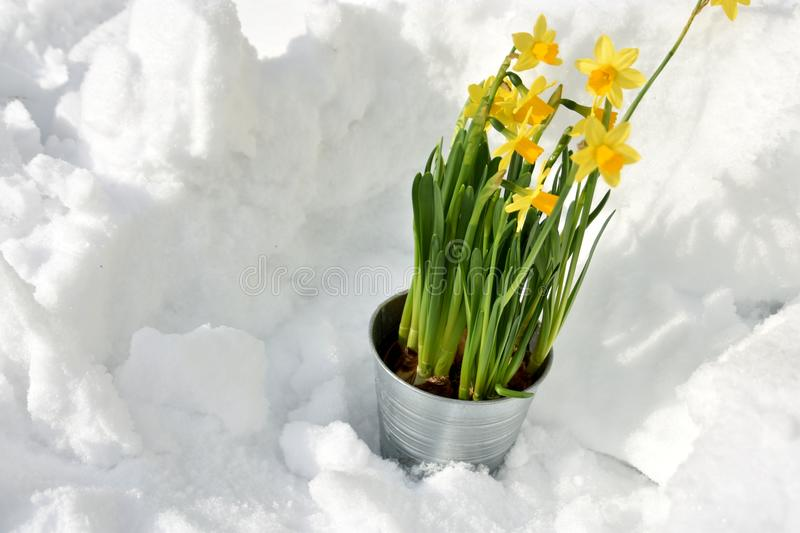 Easter lily standing in the snow royalty free stock photo