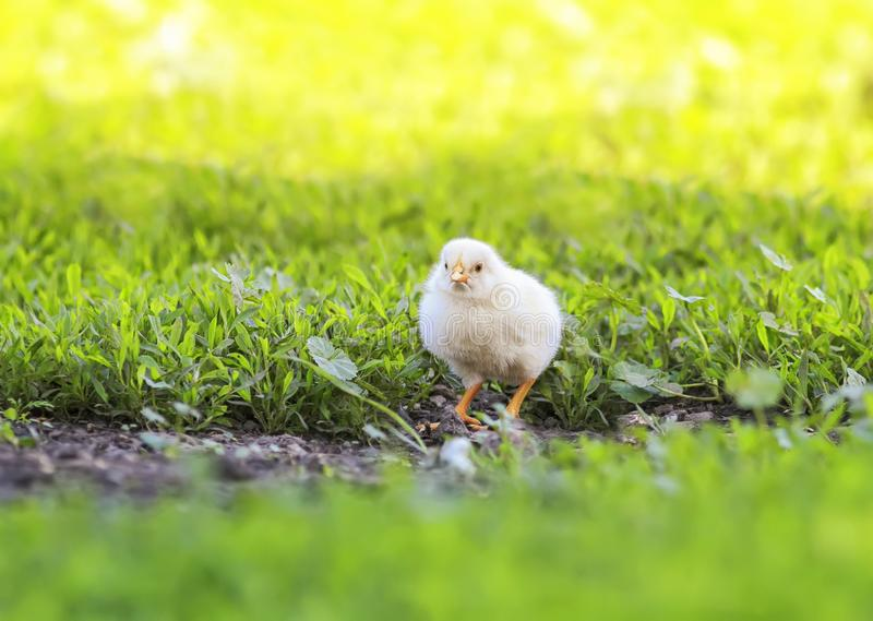 Easter little fluffy yellow chicken walking on the lush green grass in the yard of the village on a Sunny spring day. Portrait of Easter little fluffy yellow stock images