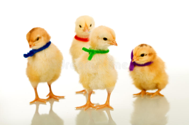 Easter party gang - small chickens isolated. Easter party gang - small chickens wearing colorful scarves, shallow depth of field royalty free stock photography