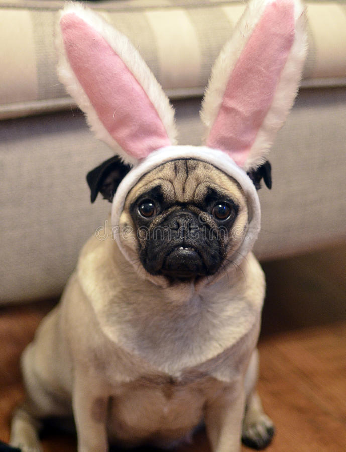 Easter pug. Noodle the easter pug, she is a good poser stock photography