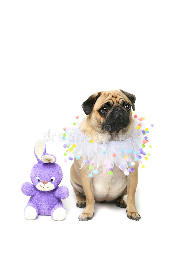 Easter Puggy stock photo