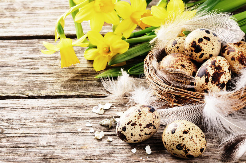 Easter setting with quail eggs and yellow daffodils stock images