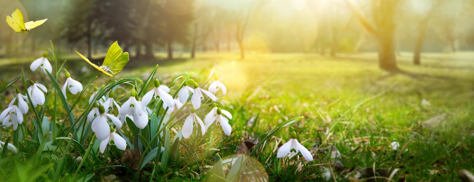 Easter spring flower background; fresh flower and butterfly. Easter spring flower background; fresh flower and yellow butterfly on green grass background royalty free stock images