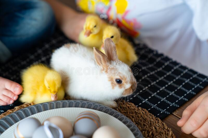 Easter white rabbit and three yellow duckling. Easter white rabbit and three yellow duckling on the table stock image