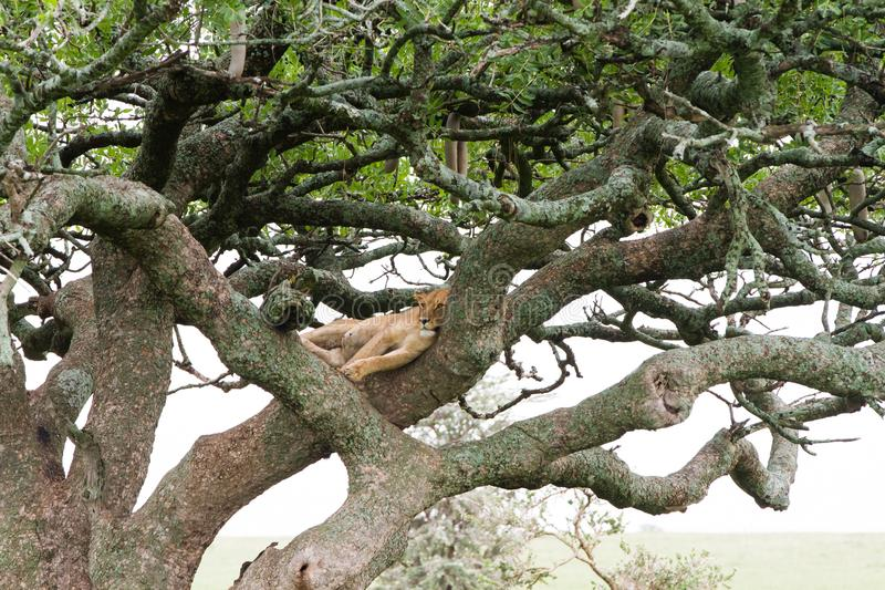 Eastern African lioness Panthera leo in tree royalty free stock images