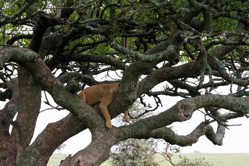 Eastern African lioness Panthera leo in tree stock photography