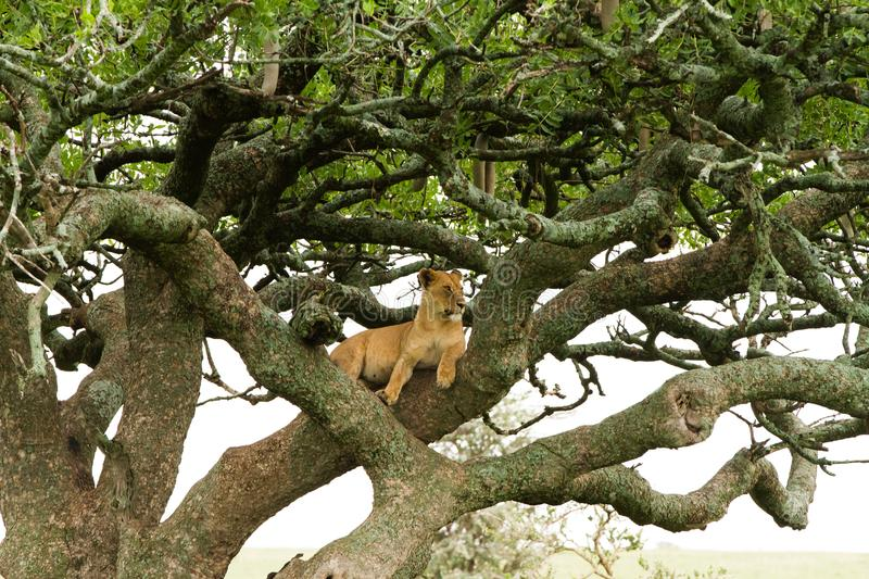 Eastern African lioness Panthera leo in tree stock images